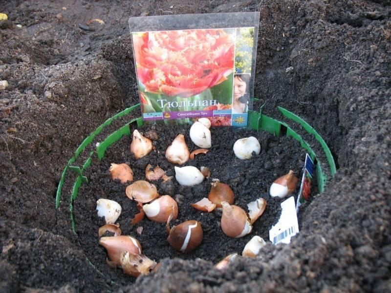 Тюльпаны: когда сажать луковицы осенью в грунт?