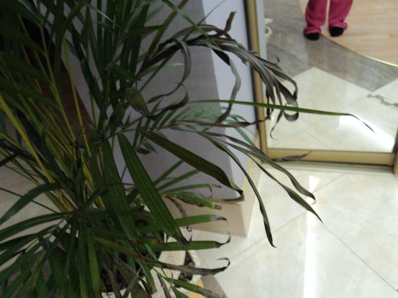 Популярный хризалидокарпус — уход в домашних условиях за пальмой-бабочкой