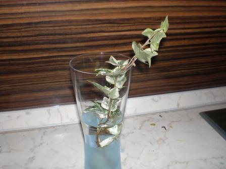 Плющ обыкновенный вьющийся или hedera helix: что это такое и где растет