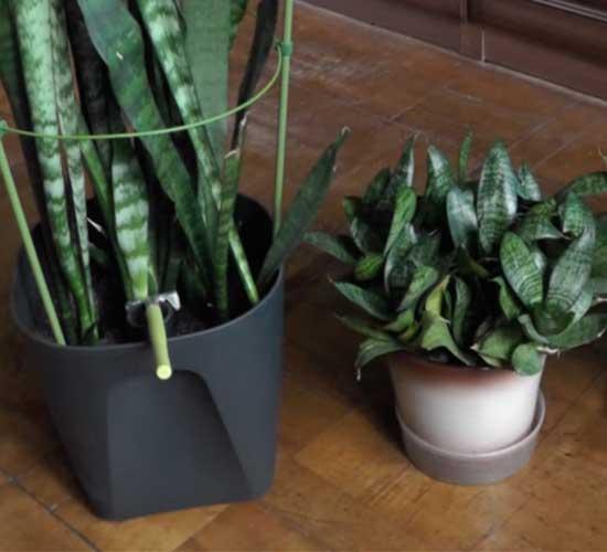 """Размножение цветка """"щучий хвост"""" и уход за ним в домашних условиях и в открытом грунте: как правильно посадить сансевиерию, можно ли без корней, как быстро растет?"""