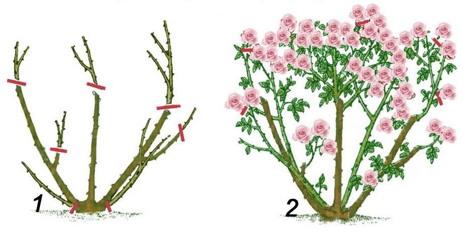Сезонная обрезка садовых роз: что учесть?