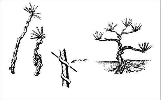 Способы выращивания бонсай