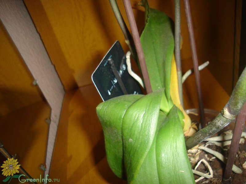 Листья орхидеи потеряли тургор и морщинятся: от чего эта проблема, как восстановить клеточное давление и вернуть здоровье цветку, что делать для профилактики?