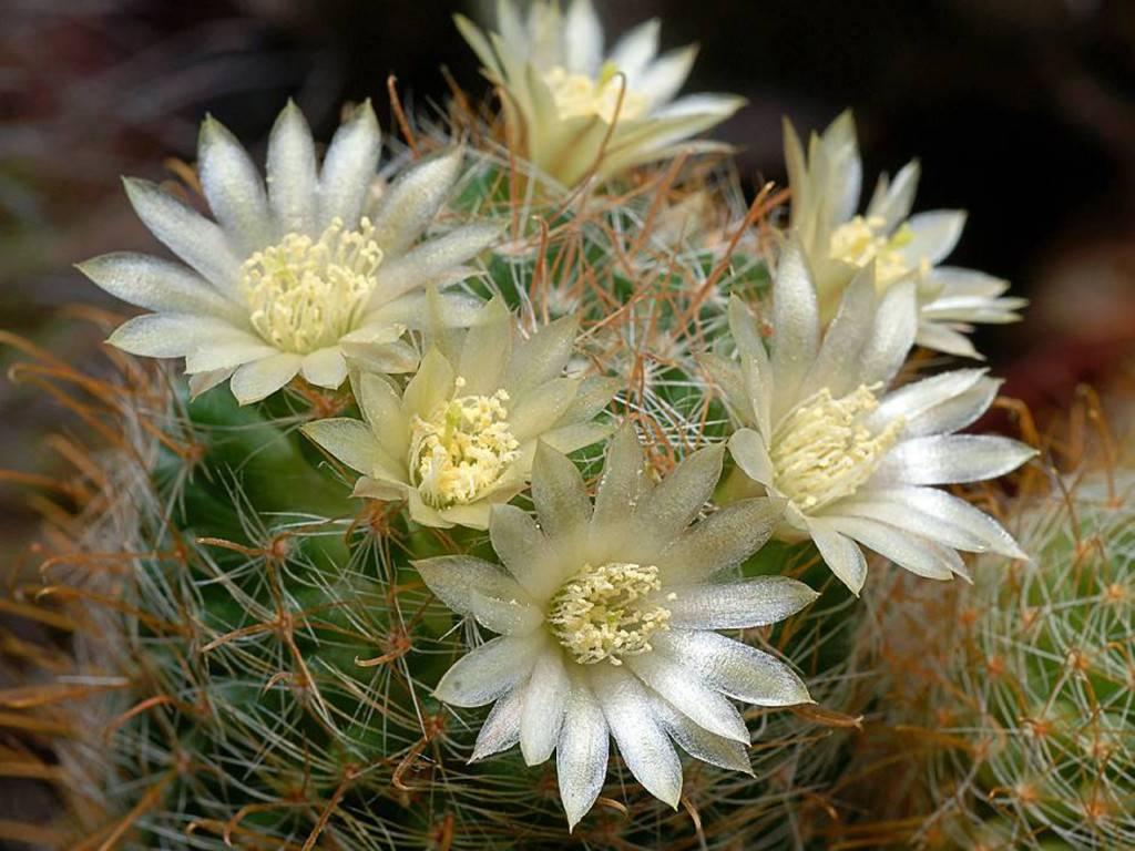 Кактус маммиллярия: фото видов цветка, уход в домашних условиях, размножение детками и семенами