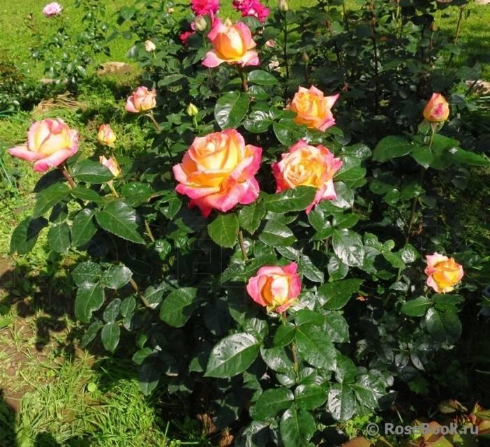 Роза чайно гибридная пульман ориент экспресс
