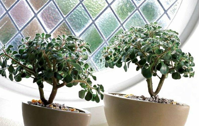Аихризон – дерево любви: уход в домашних условиях