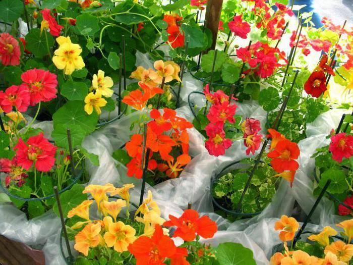 Цветок настурция: посадка и уход в открытом грунте, фото настурции, выращивание настурции из семян