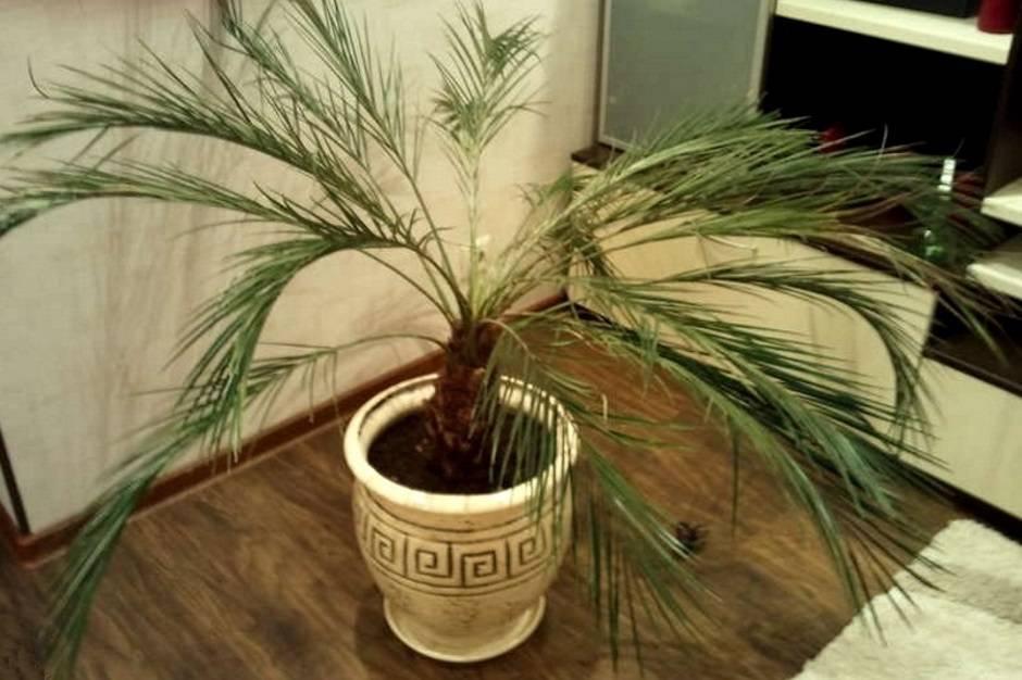 Как вырастить финиковую пальму из косточки в домашних условиях