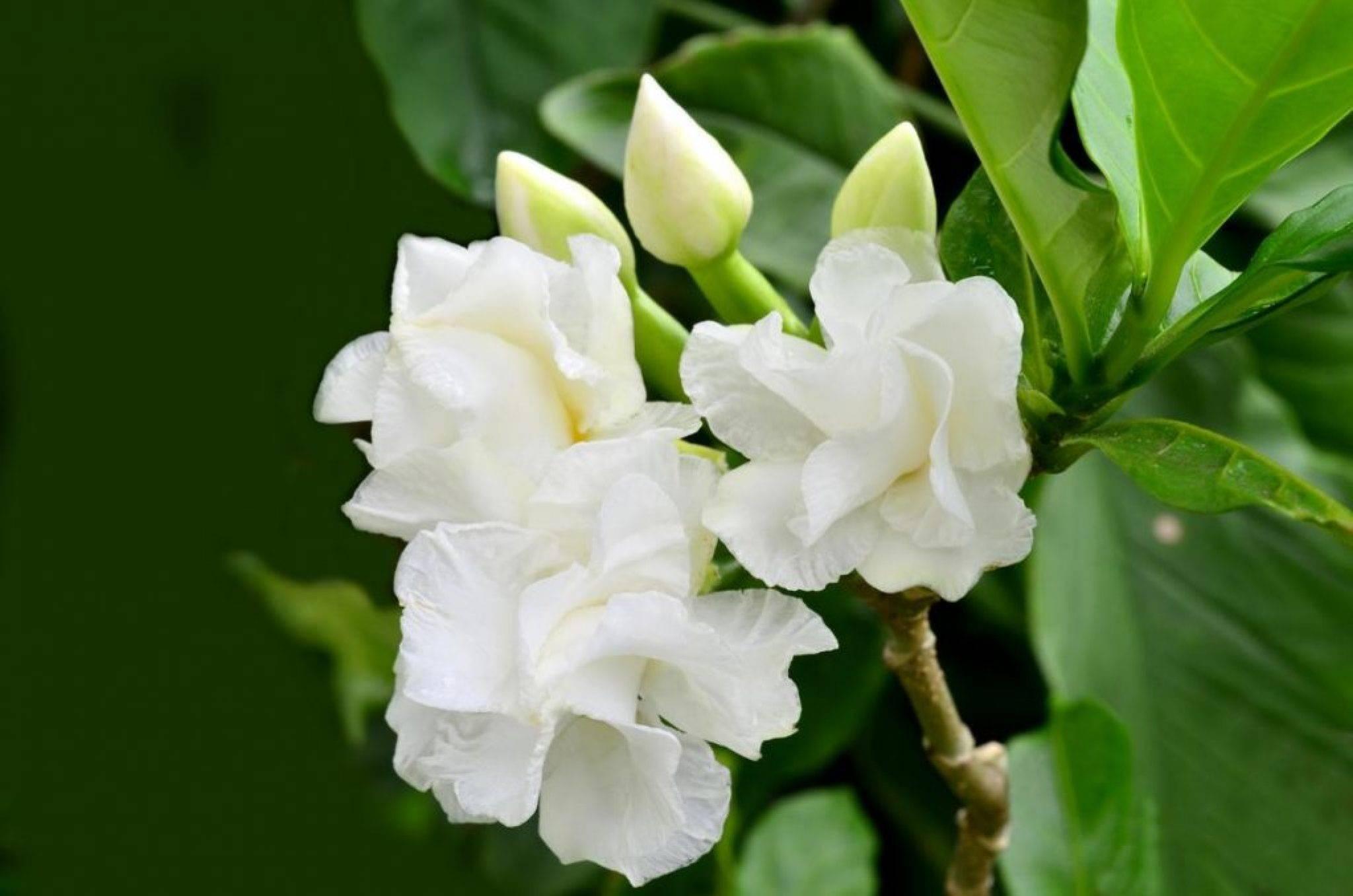 Хедера хеликс — как выглядит растение плющ
