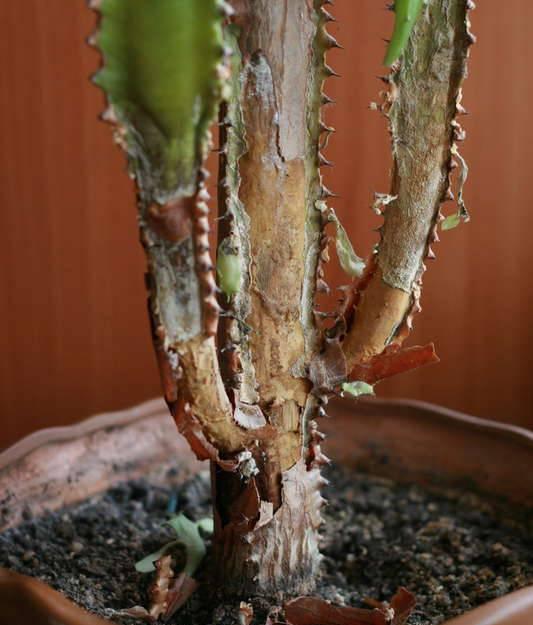 Уход за спатифиллумом: лечение болезней листьев и корней в домашних условиях