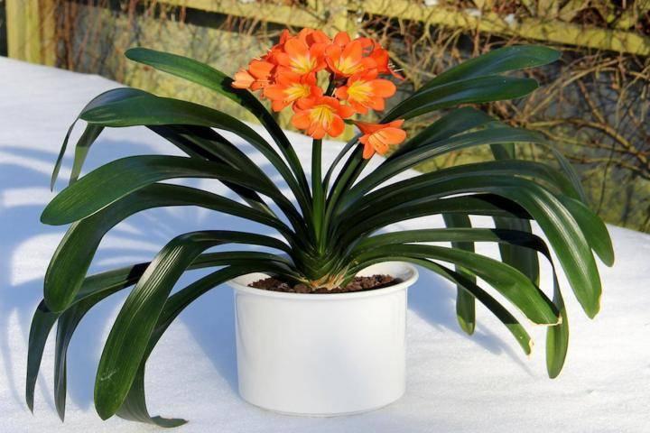 Кливия в домашних условиях, выращивание и уход. почему не цветет?