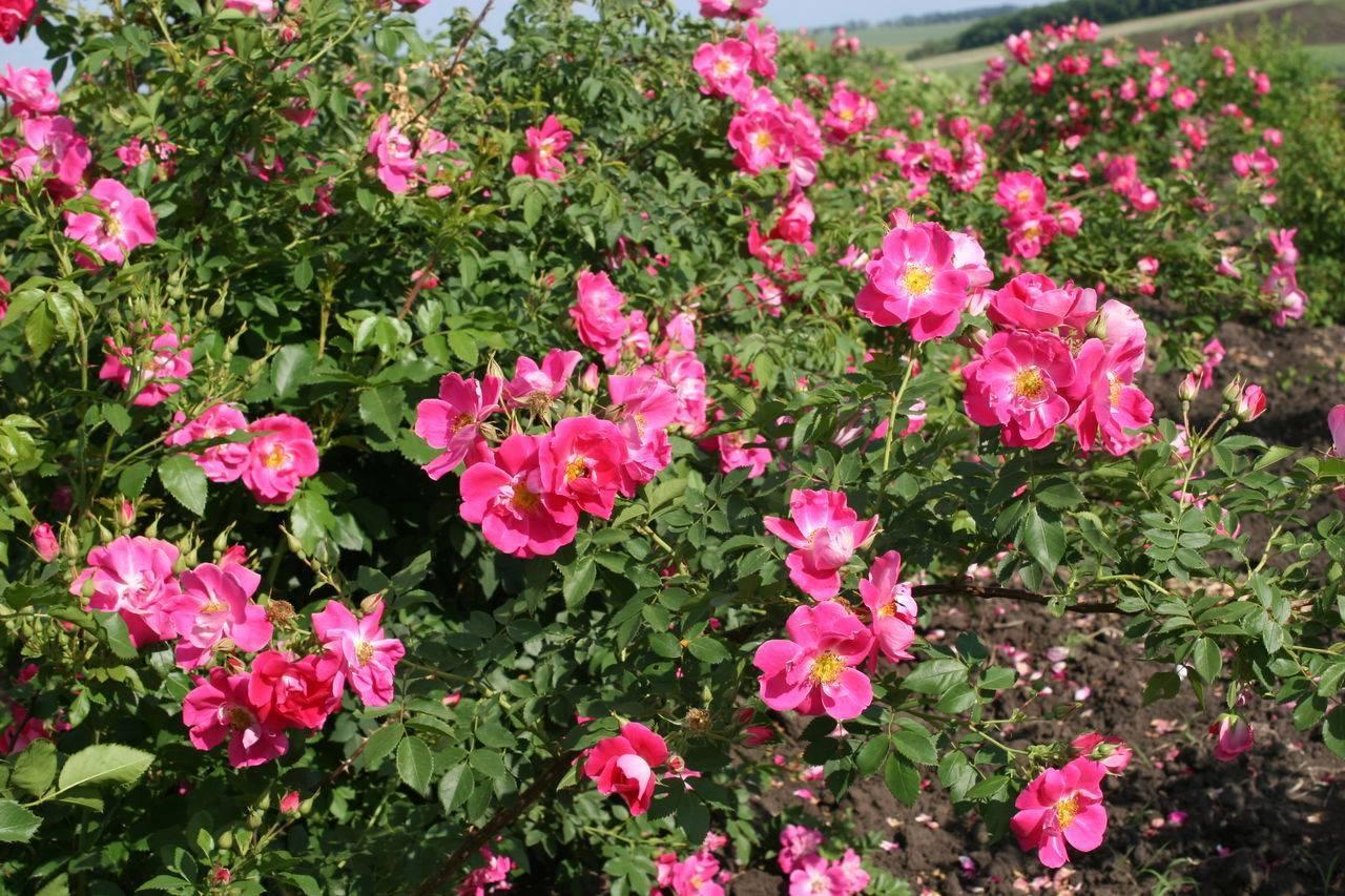 Канадская роза квадра какую опору. лучшие канадские плетистые сорта роз («квадра», феликс леклерк», «джон кабот», «вильям баффин») с отзывами и уходом. технология посадки и основные мероприятия по уходу