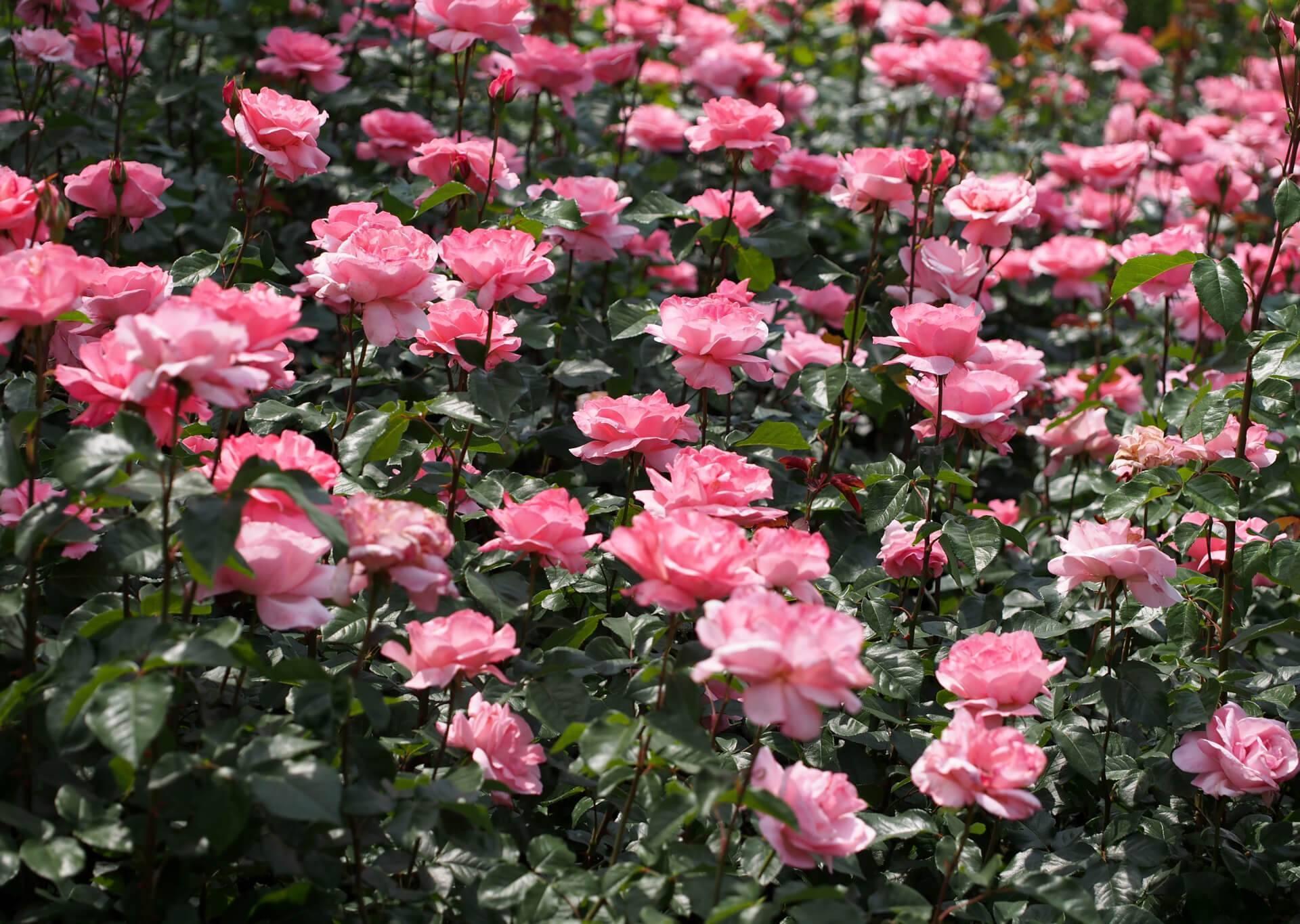 Розы флорибунда: сорта, посадка и уход, выращивание в открытом грунте