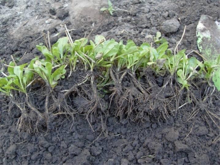 Обриета: выращивание из семян, фото, посадка и уход в открытом грунте
