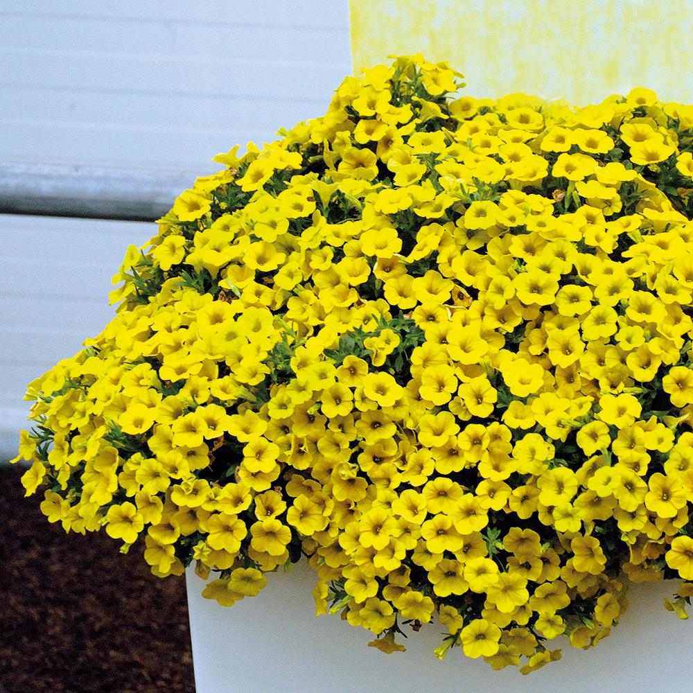 Петуния: фото, в чем разница с сурфинией, как называются похожие цветы, можно ли выращивать в горшках на балконе и дома, как добиться, чтобы росла пышным шариком?