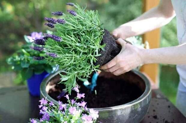 Лаванда (52 фото): посадка и уход за своенравным и красивым растением