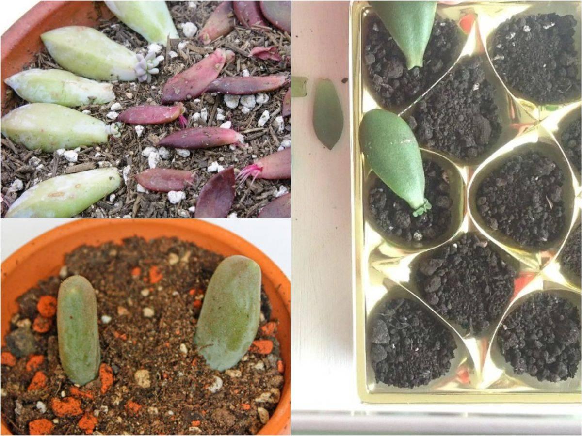 Суккулент эхеверия: фото видов, уход и размножение в домашних условиях, болезни и вредители