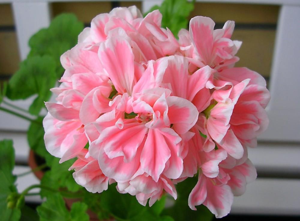 Герань плющелистная ампельная (пеларгония плющелистная): сорта, уход