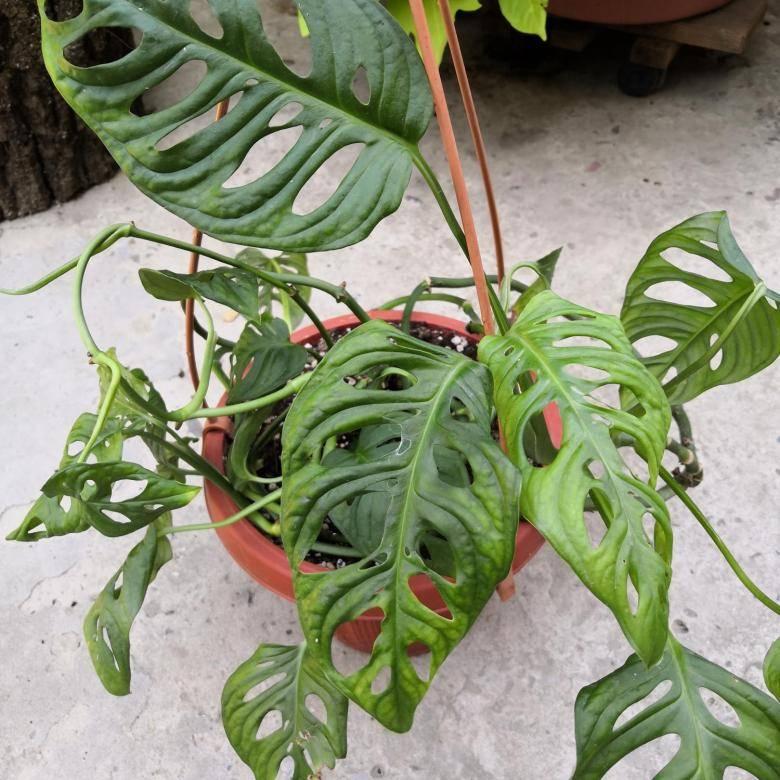Монстера – уход в домашних условиях: выращивание цветка