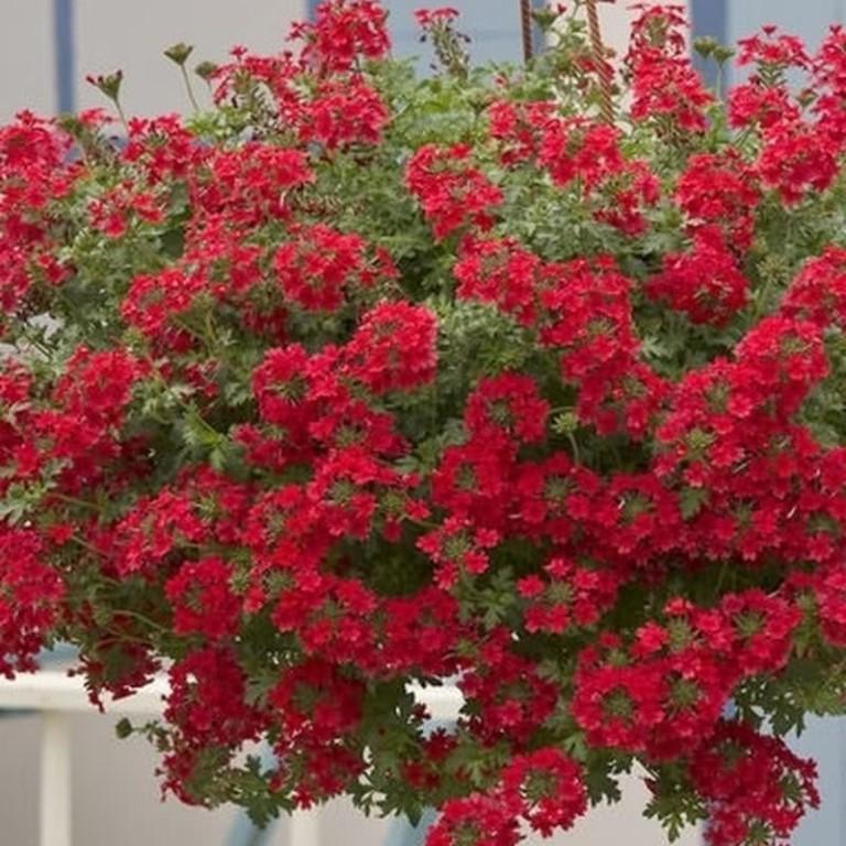 Вербена ампельная: описание и фото сортов с красными, белыми и другими цветками, посадка, выращивание и уход, а также размножение семенами и черенками