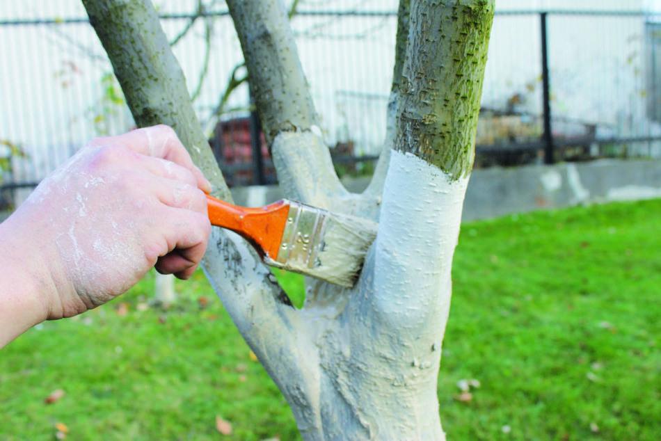 Что лучше использовать для побелки деревьев весной