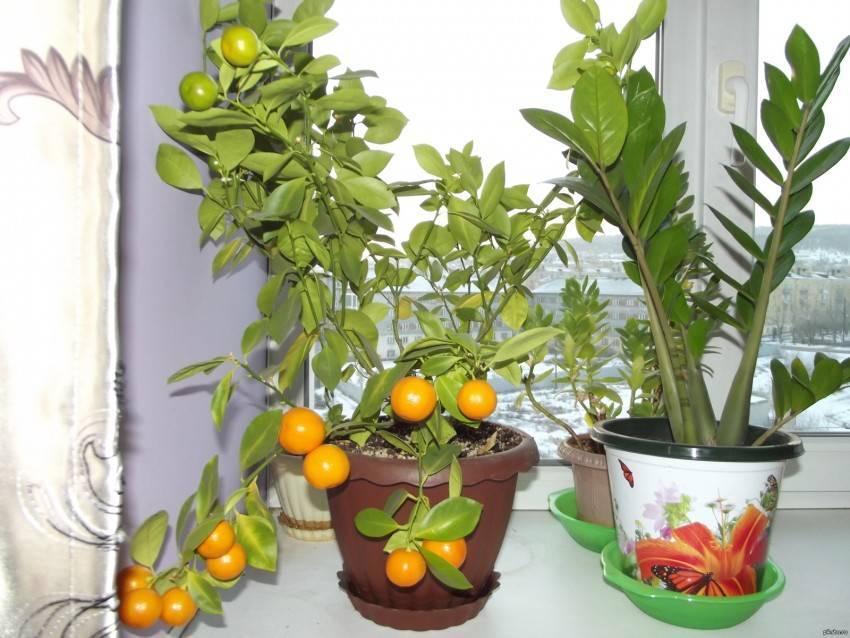 Съедобны ли домашние мандарины. уход и выращивание комнатных мандарин
