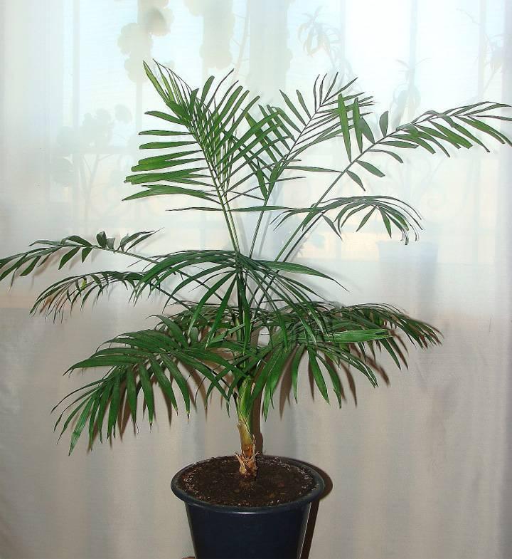 Выращивание хамедореи: как посадить, ухаживать, поливать, удобрять, размножать