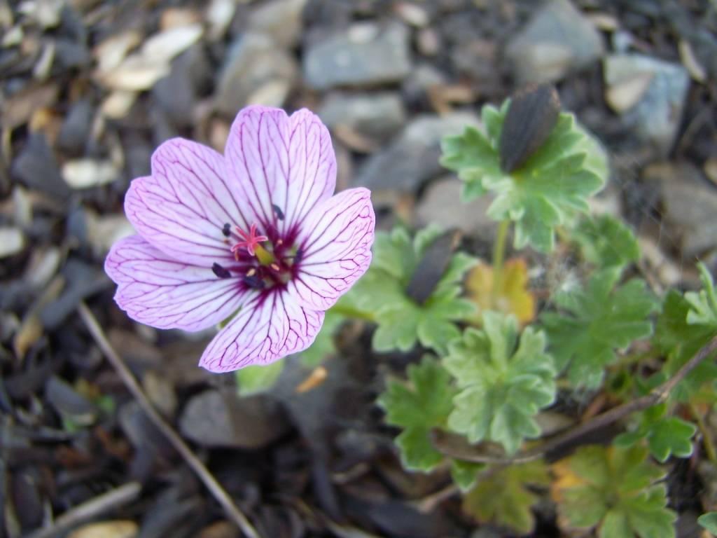 Морозостойкое растение – герань розанна. основные правила посадки и ухода, а также фото цветка
