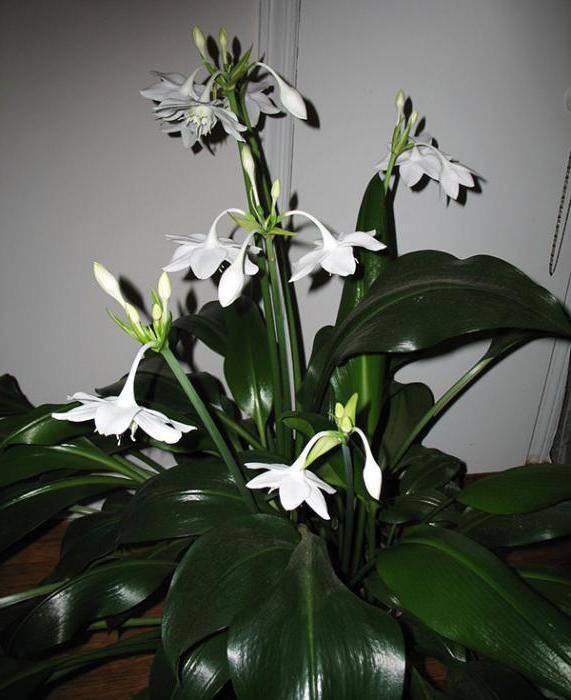 Эухарис: уход в домашних условиях, пересадка, размножение, почему не цветет