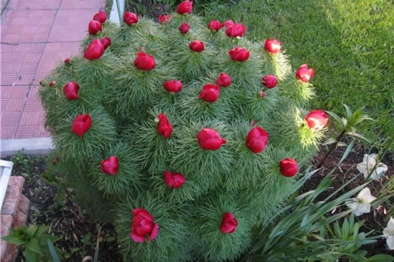 Тонколистные пионы – забытое, но роскошное украшение вашего сада!