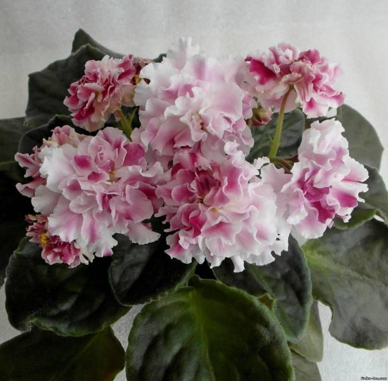 Лучшие виды фиалок рс: спорт сортов ледяная роза и ледяная роза люкс
