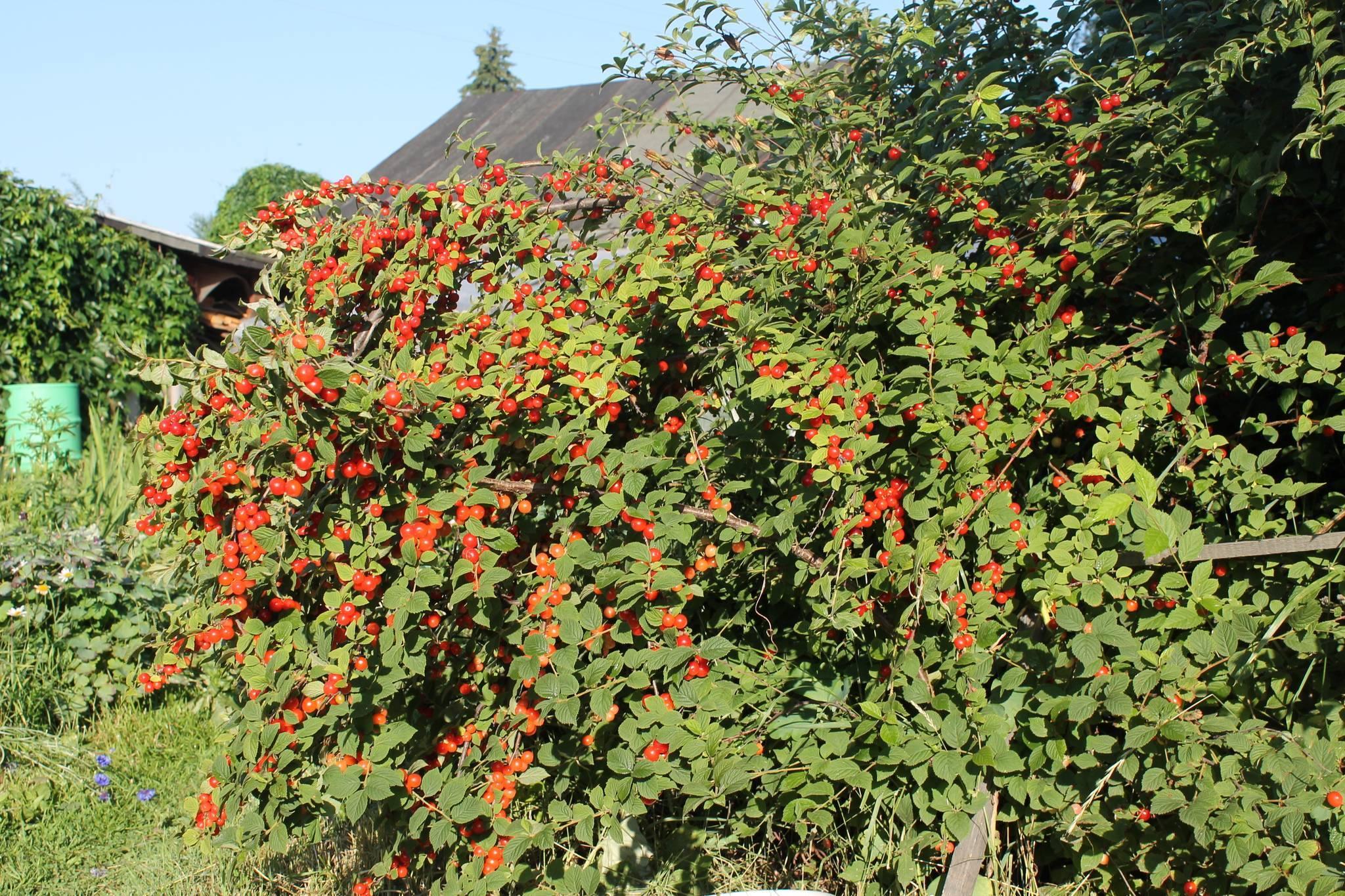 Сорта плодовых деревьев для московской области