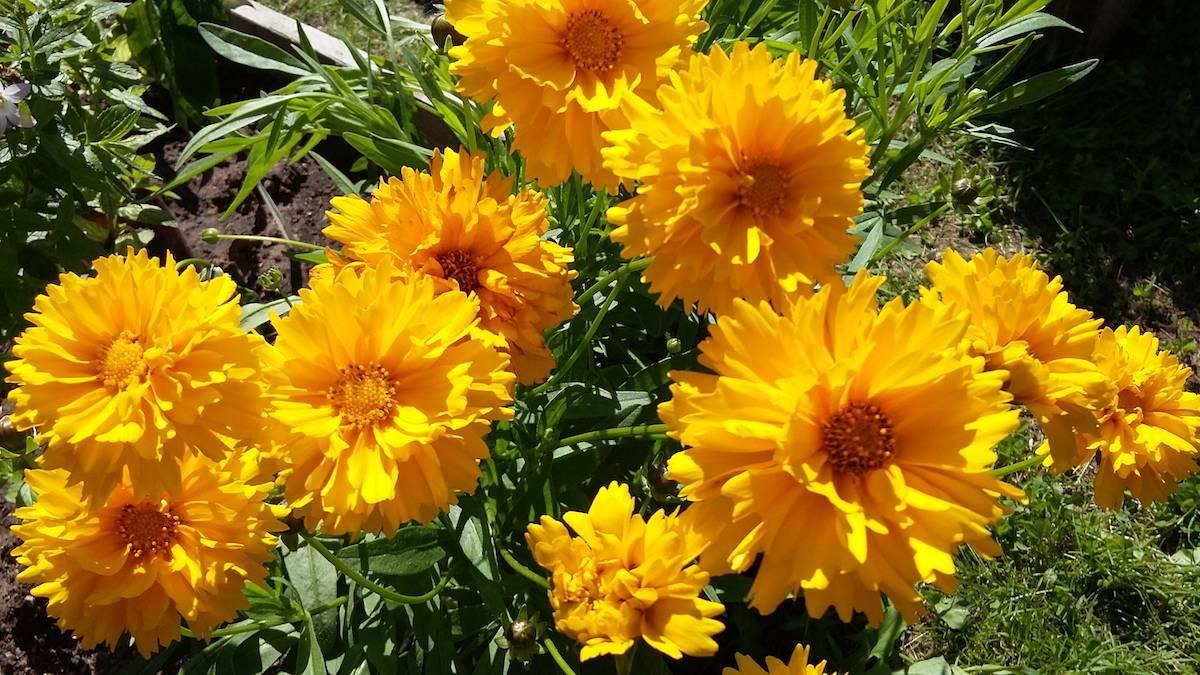 Кореопсис многолетний (39 фото): посадка и уход за цветком, сорта для открытого грунта, описание кореопсиса пестролистного, размножение
