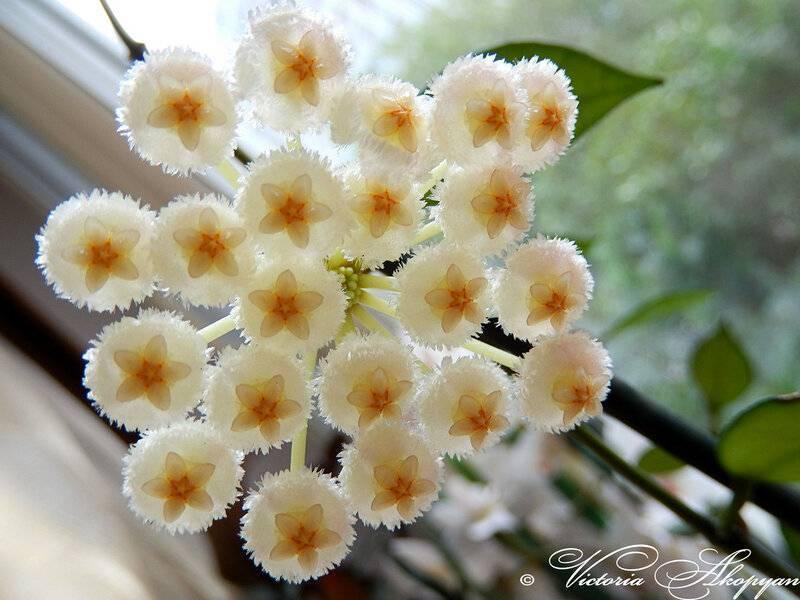 Цветок хойя — как выглядят сорта карноза, керри, белла, мясистая, мультифлора