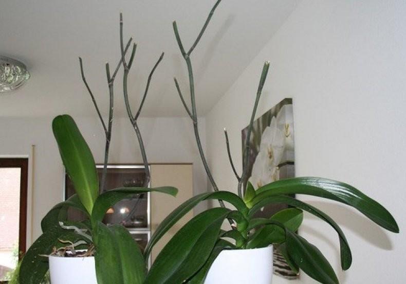 Варианты что делать с цветоносом у орхидей: когда вырос, засох и другие примеры