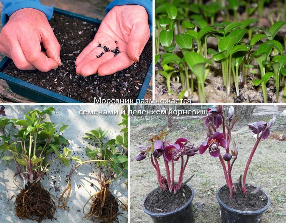Аквилегия махровая (26 фото): выращивание гигантов из семян. посадка и уход за цветами в открытом грунте. обзор «винки» и других сортов
