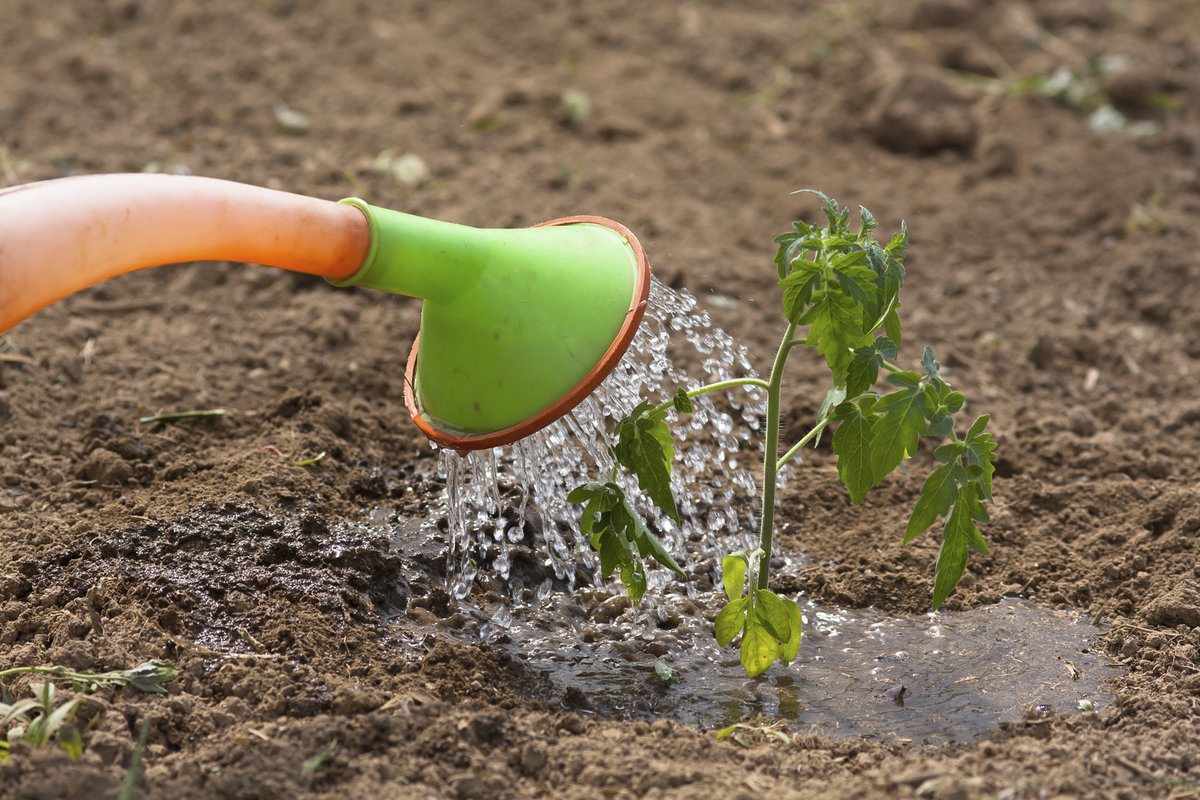 Как посадить и ухаживать за бедренцем-камнеломкой в домашних условиях: полив, грунт