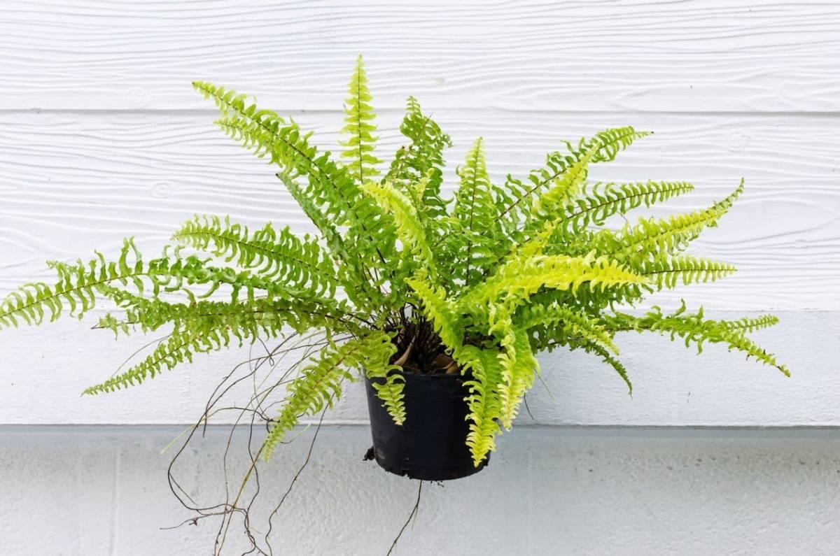 Как ухаживать за папоротником — выращивание в домашних условиях