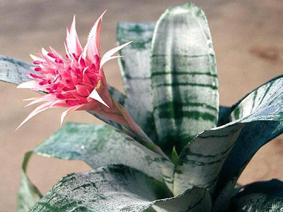 Эхмея: все нюансы ухода за цветком в домашних условиях (полосатая и другие сорта) + фото и видео