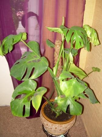 Что делать, если у монстеры желтеют кончики листьев: распространенные болезни растения