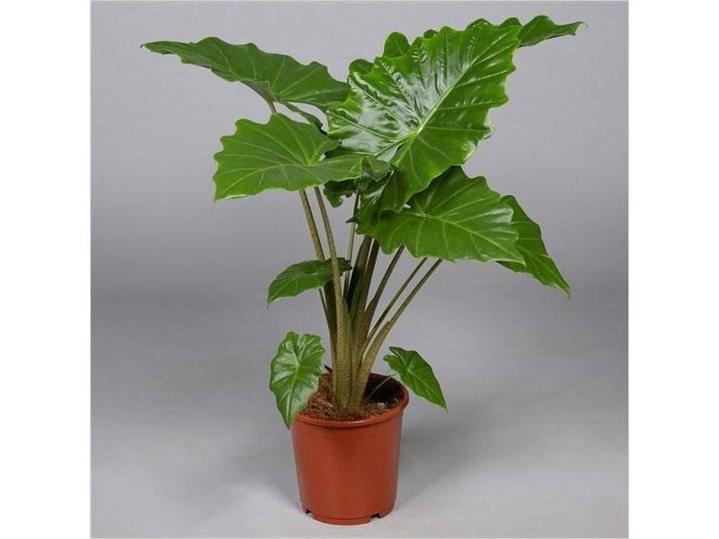 Комнатные цветы: алоказия. описание, фото, рекомендации по уходу