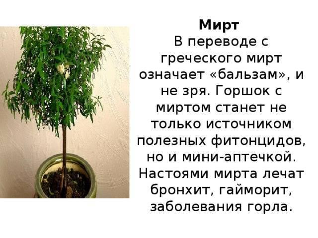 Мирт — уход в домашних условиях, как реанимировать, если он засох - pocvetam.ru