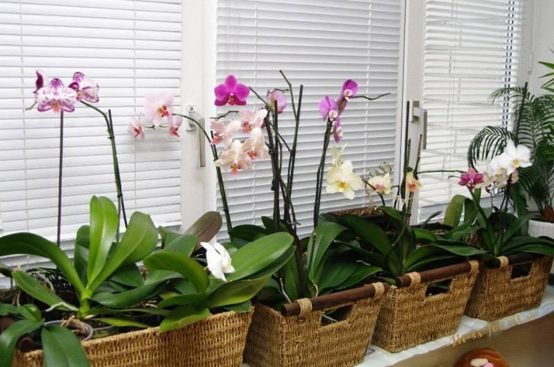 Уход в домашних условиях за орхидеей фаленопсис: основные моменты