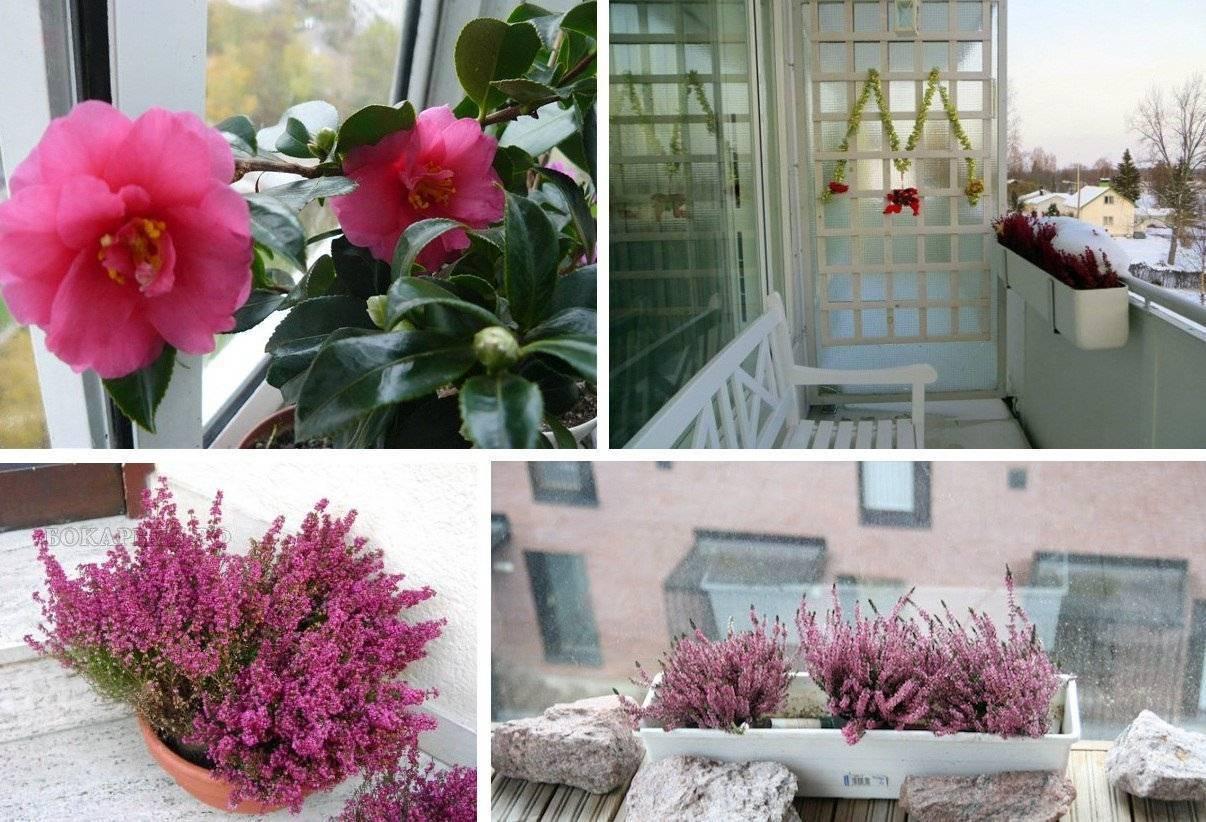 Пионы в горшке: можно ли выращивать комнатные пионы дома? правила посадки домашних пионов в квартире весной и в другое время года