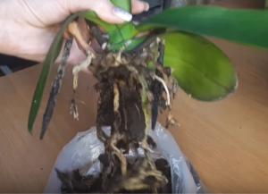 Рассказываем, как проходит реанимация орхидей без корней в воде
