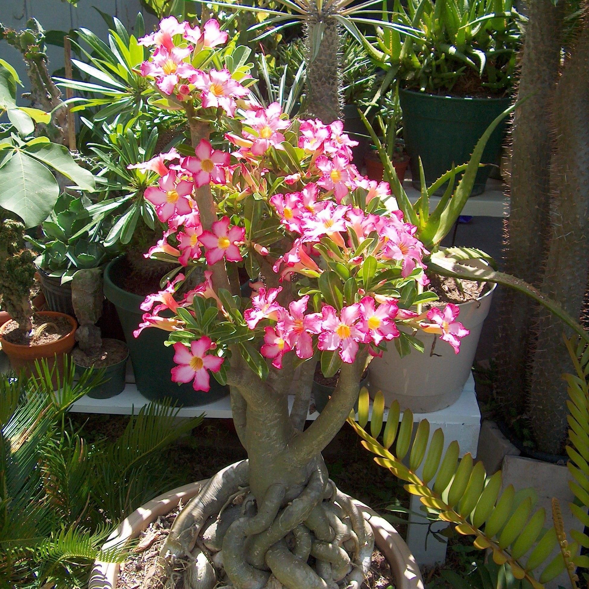 Почему не цветут спатифиллумы в домашних условиях и как заставить зацвести