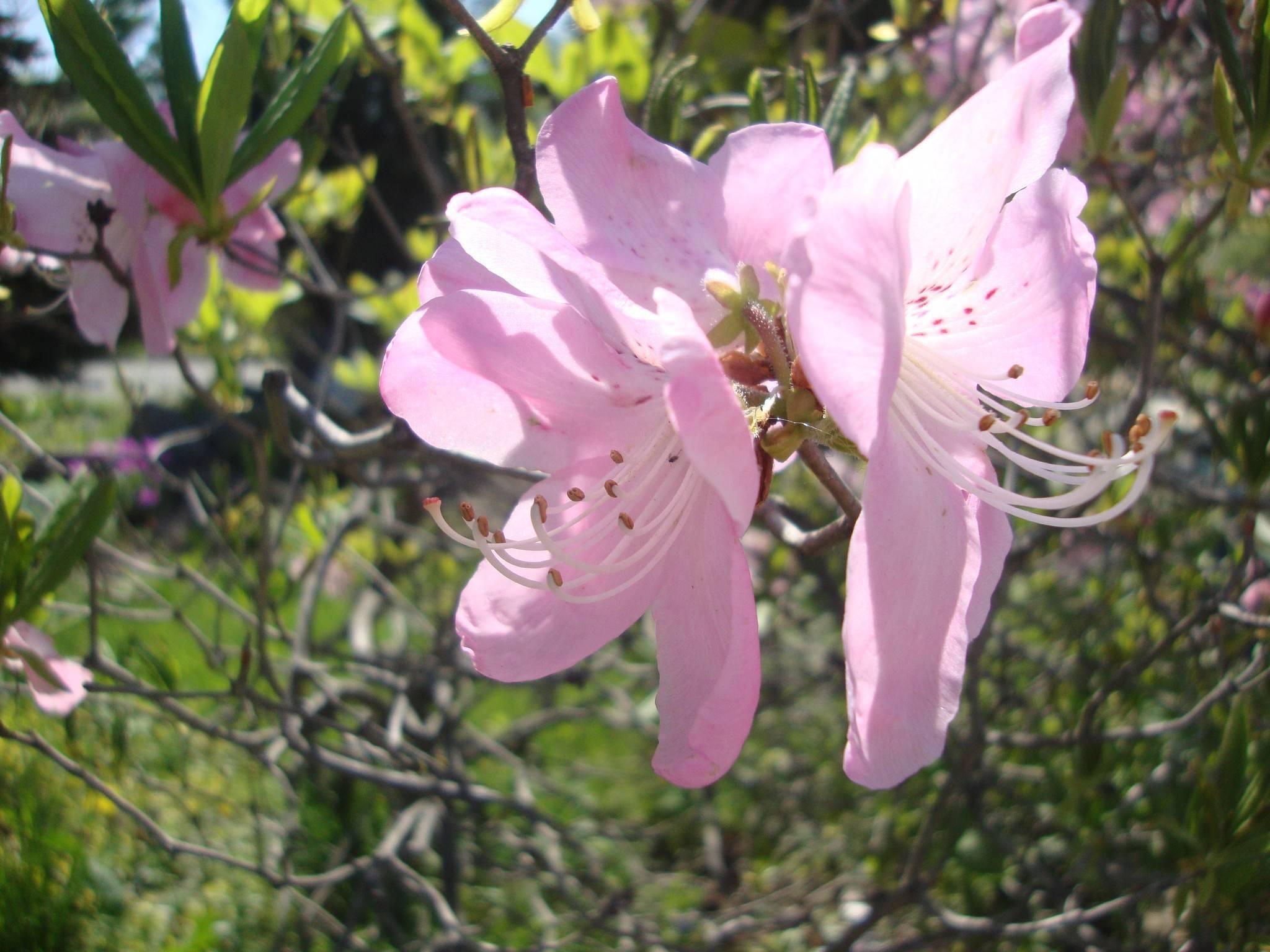 Рододендрон шлиппенбаха: описание, уход и размножение