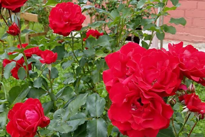 Роза «нью даун»: описание плетистого корнесобственного сорта и его подготовка к зиме