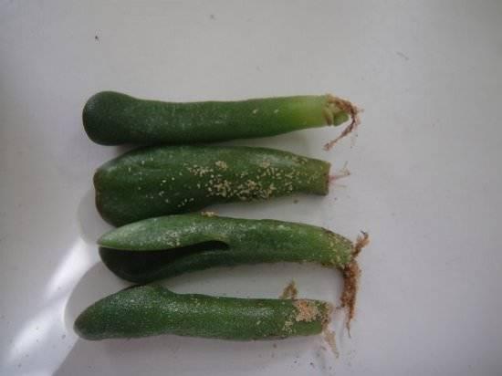 Размножение толстянки: черенками, семенами, листом