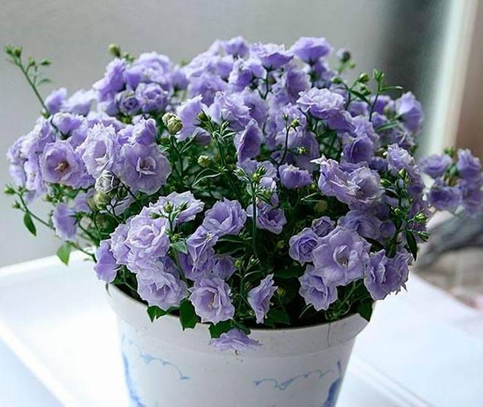 Комнатный цветок кампанула или невеста: описание, уход, размножение в домашних условиях